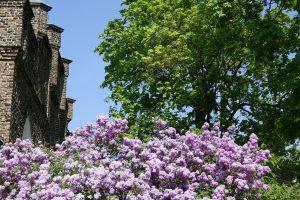 Frühlingsimpressionen Flieder an der Wachtelburg